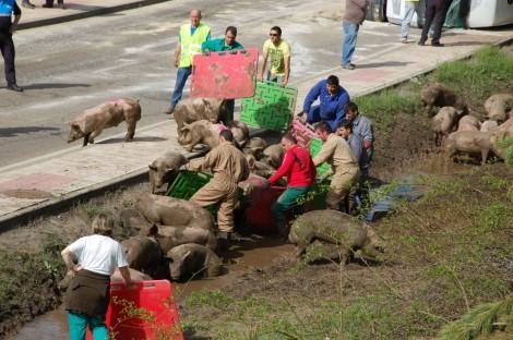 Empleados de la granja y otras personas se afanan en controlar a los cerdos tras el accidente